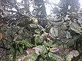 Quercus semecarpifolia 03.jpg