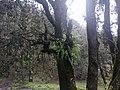 Quercus semecarpifolia 04.jpg