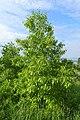 Quercus variabilis kz03.jpg