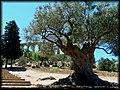 Questo ulivo potrebbe aver visto il tempio come Era - panoramio.jpg
