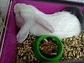 Rabbit in a pet store6.jpg
