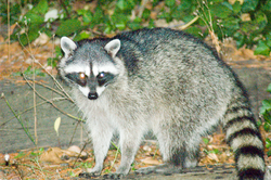Raccoon-10.png