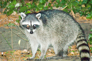 <i>Procyon</i> (genus) genus of mammals