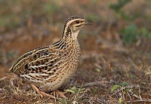 Rain quail - Female rain quail