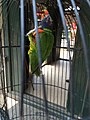 Rainbow lorikeet in Pasty Market 03.jpg