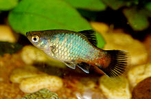 Southern platyfish - Wikipedia, the free encyclopedia