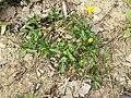 Ranunculus repens sl21.jpg
