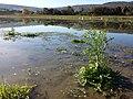 Ranunculus sceleratus sl25.jpg