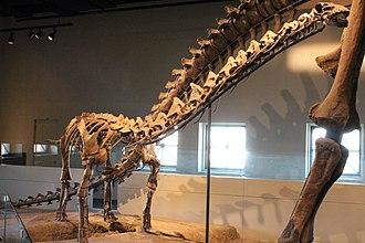 Rapetosaurus - Juvenile skeleton, Field Museum of Natural History