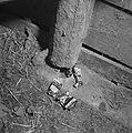 Rattenplaag Scherpenisse, Bestanddeelnr 901-7519.jpg