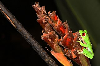 Red Eyed treefrog