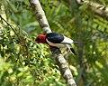 Red-headed Woodpecker. Melanerpes erthrocephalus (25133151998).jpg