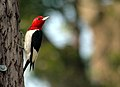 Red-headed Woodpecker (Melanerpes erythrocephalus) 168974484.jpg