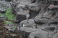 Red-legged Cormorant (Phalacrocorax gaimardi) (4856305141).jpg