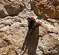 Red Admiral 1 (3822799881).jpg