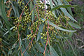 Red Gum Buds (4530827894).jpg