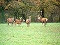 Red deer, Lambourn Woodlands - geograph.org.uk - 1652071.jpg