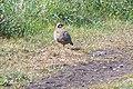 Red legged Partridge - geograph.org.uk - 425745.jpg
