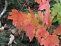 Red moose maple (6153691638).jpg