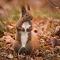 Red squirrel (49423073401).jpg