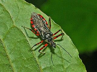 <i>Sphedanolestes</i> Genus of true bugs