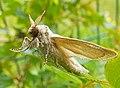 Reed Leopard Moth (Phragmataecia castaneae).jpg