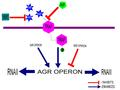 Regulation of Agr operon.pdf