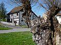 Reichenau - Fachwerkhaus mit alter Kopfweide.jpg