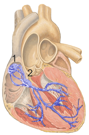 Heart; conduction system