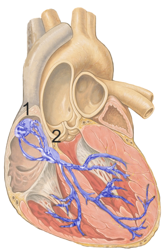 Atrioventricular node - Image showing the conduction system of the heart. The AV node is labelled 2.