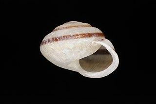 <i>Rhagada</i> Genus of gastropods