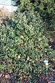 Rhamnus californica - San Luis Obispo Botanical Garden - DSC06081.JPG