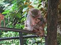 Rhesus-Monkeys1.jpg