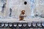 Rhesus macaque in New Delhi.jpg