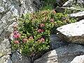 Rhododendron ferrugineum 6.jpg