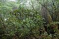 Rhododendron yakushimanum 03.jpg