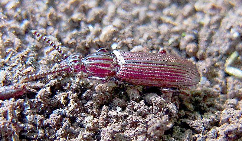 File:Rhysodes sulcatus natur2.jpg