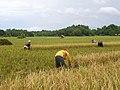 Rice harvesting in Dipolog - Flickr.jpg