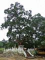 Ridi Vihara-Ficus religiosa (1).jpg