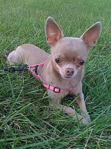 Tiny Dog Breeds For Adoption In Kalispell Mt