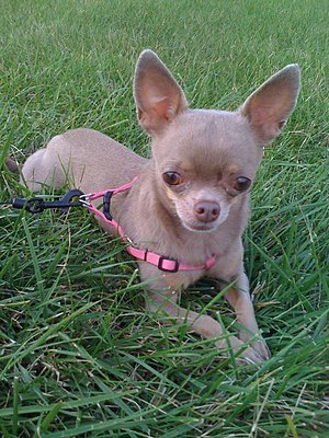 Companion dog - Chihuahuas are the smallest of all toy dog breeds.