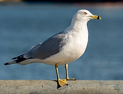 Ring-billed gull in Red Hook (42799).jpg