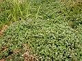 Rorippa nasturtium-aquaticum (Nasturtium officinale) (5002422611).jpg