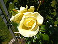 "Rosa ""Elfe""2.JPG"