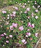 Rosa Bengale Animee 4.jpg
