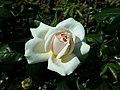 Rosa Lions-Rose 2019-06-05 6783.jpg