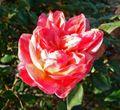 Rosa Souvenir de Gilbert Nabonnand 2.jpg