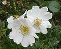 Rosa canina, Kicin.JPG