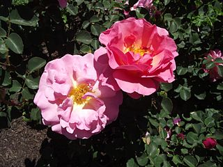 Rosa lilian austin.jpg