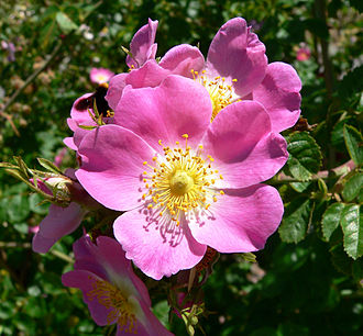 National symbols of the United States - Image: Rosa rubiginosa 1